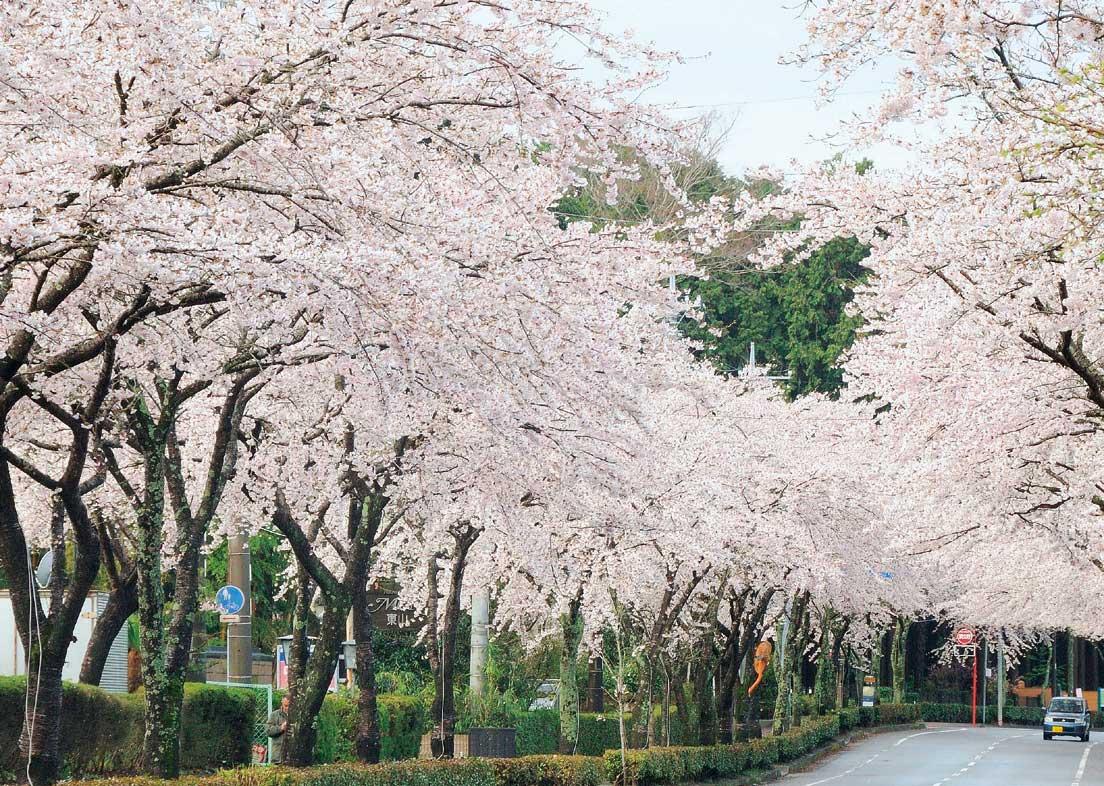 御殿場桜まつり